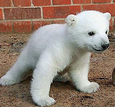 baby knut bear