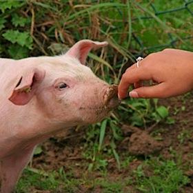 suine flu porco