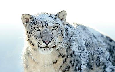 mac wallpaper snow leopard