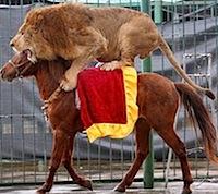 leão mula lion